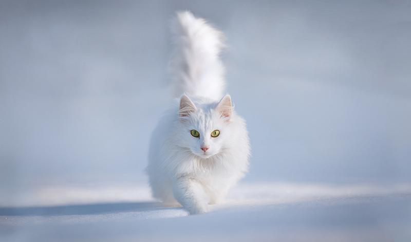 Им стал белоснежный кот с гетерохромией глаз