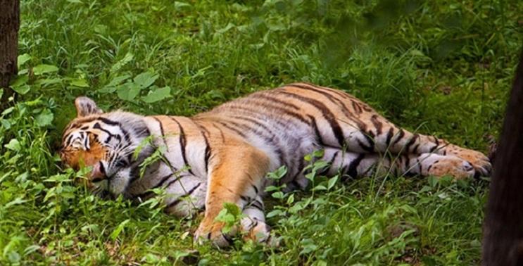 Тигру Амуру устроили первое свидание с тигрицей