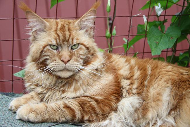 Самого упитанного кота столицы зовут Кекс